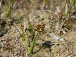 Curved Sedge (Carex maritima)